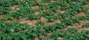 Combaterea invaziei de limacsi la cartofi