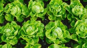Combaterea melcilor si lmacsilor la salata verde
